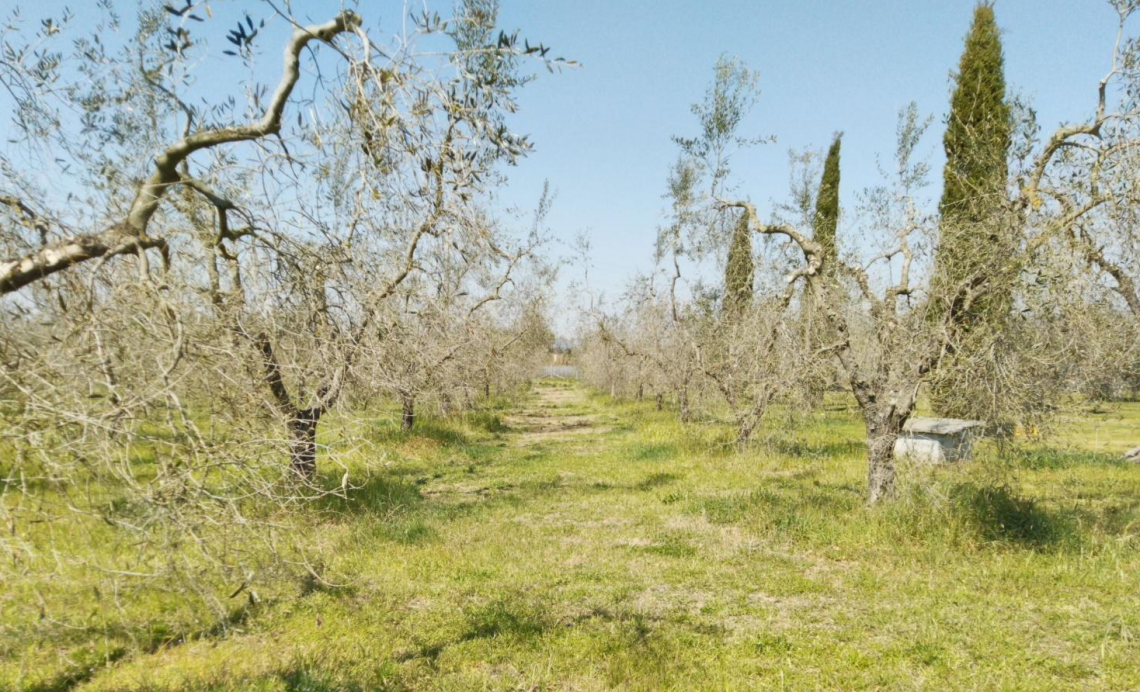 Rischi e pericoli della potatura dell'olivo dopo una gelata tardiva