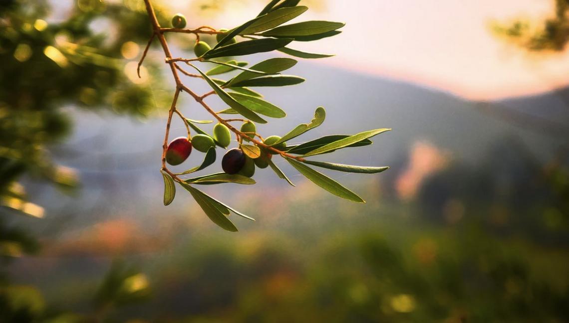 Individuate le specie vegetali che favoriscono la presenza dei nemici naturali dei patogeni dell'olivo