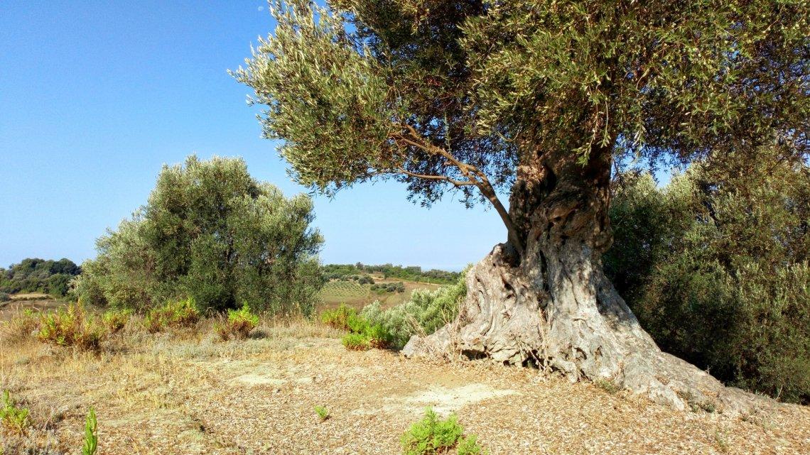 L'età degli olivi monumentali è spesso sovrastimata
