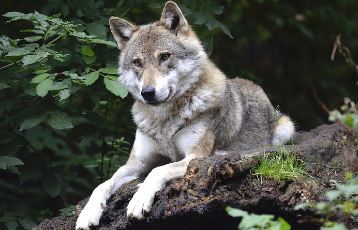 Natural recolonization of large carnivores in Europe