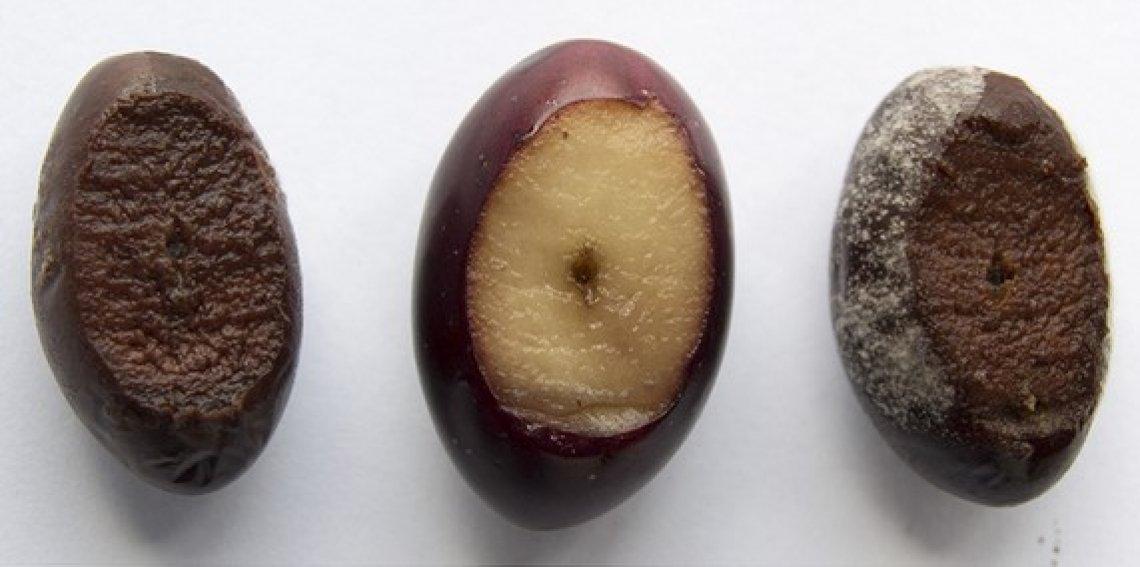 Le infezioni da Phytophthora oleae negli oliveti e i sistemi più efficaci di controllo