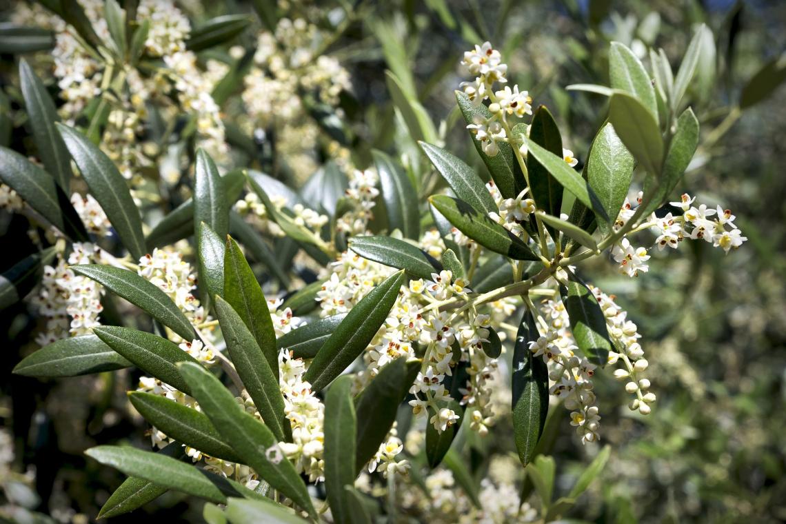 Due trattamenti col chitosano all'anno per aumentare la produttività dell'olivo