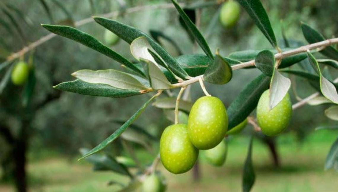 E' davvero necessario concimare l'olivo tutti gli anni con potassio?