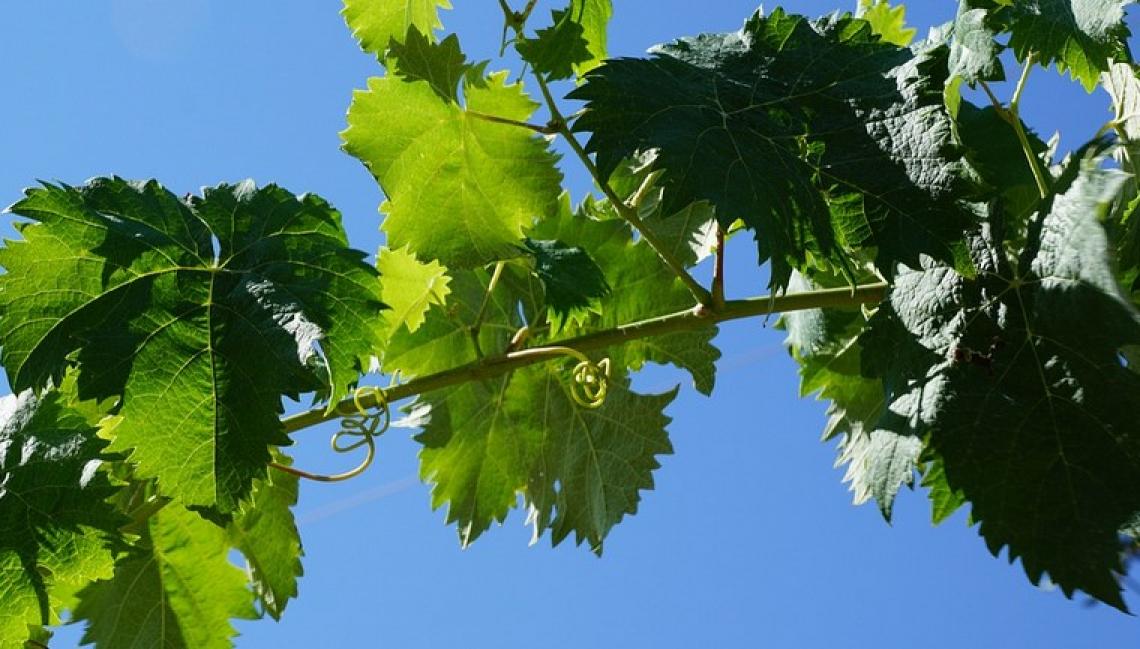 Donne del Vino: la vite sia simbolo di rinascita, di sostenibilità, di rispetto della terra
