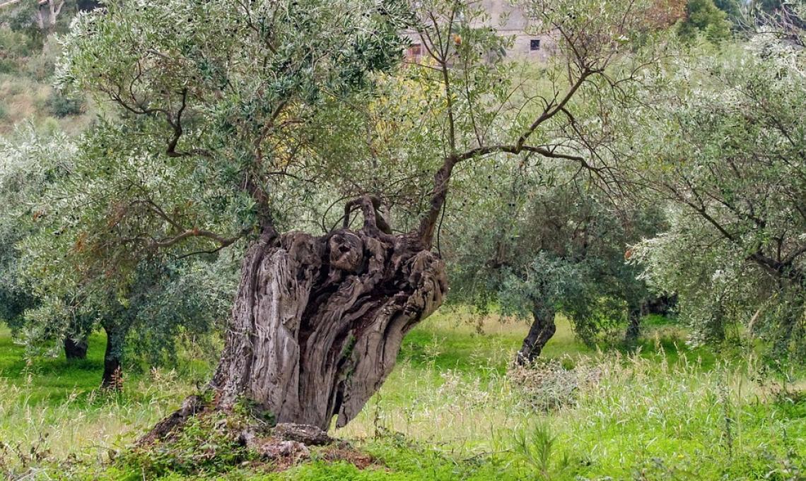 Olio extra vergine d'oliva sostenibile ed identitario grazie al paesaggio