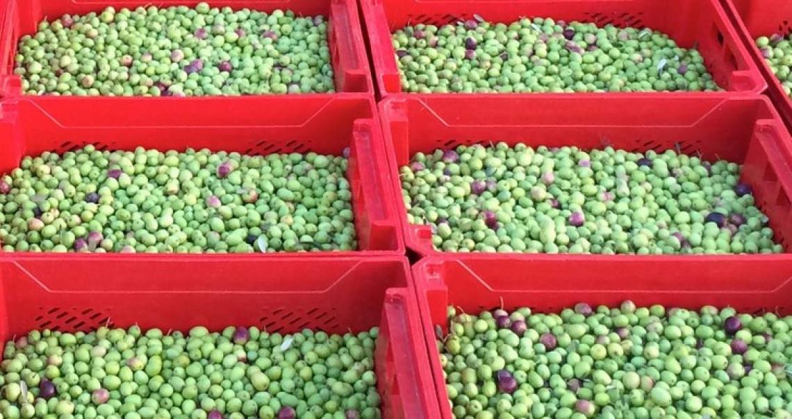 Il raffreddamento dell'oliva può modulare il profilo aromatico dell'olio extra vergine