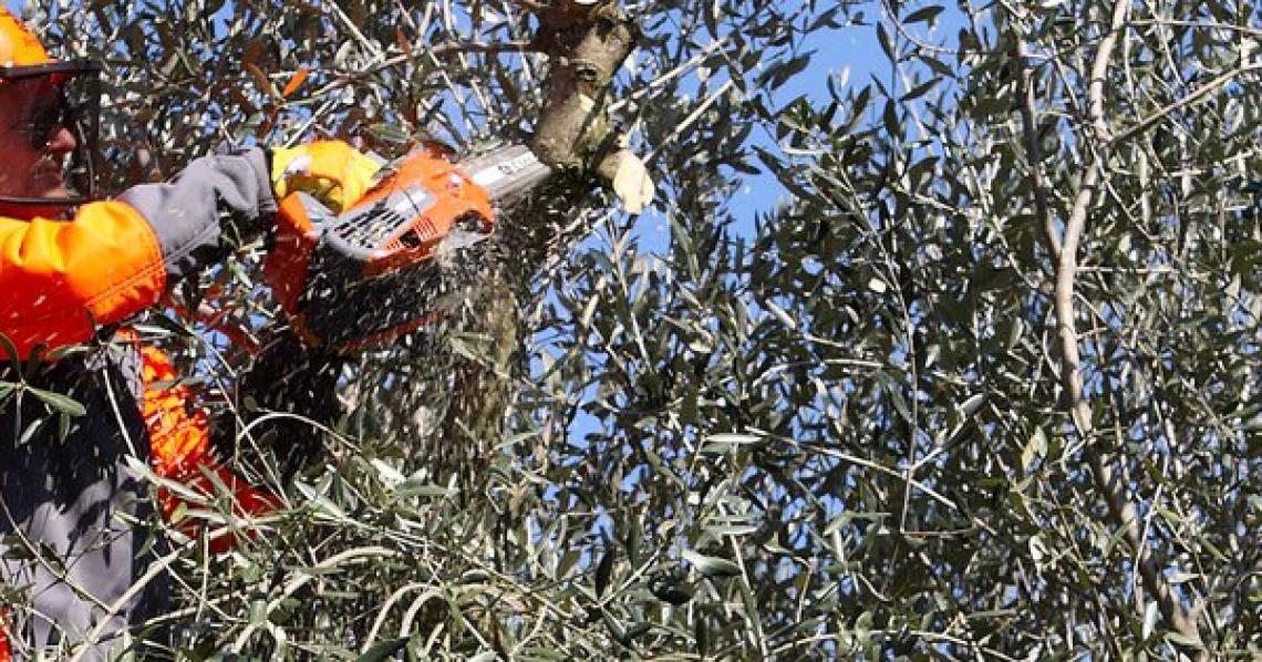 La gestione dell'inquinamento acustico per il lavoratore durante la potatura degli olivi