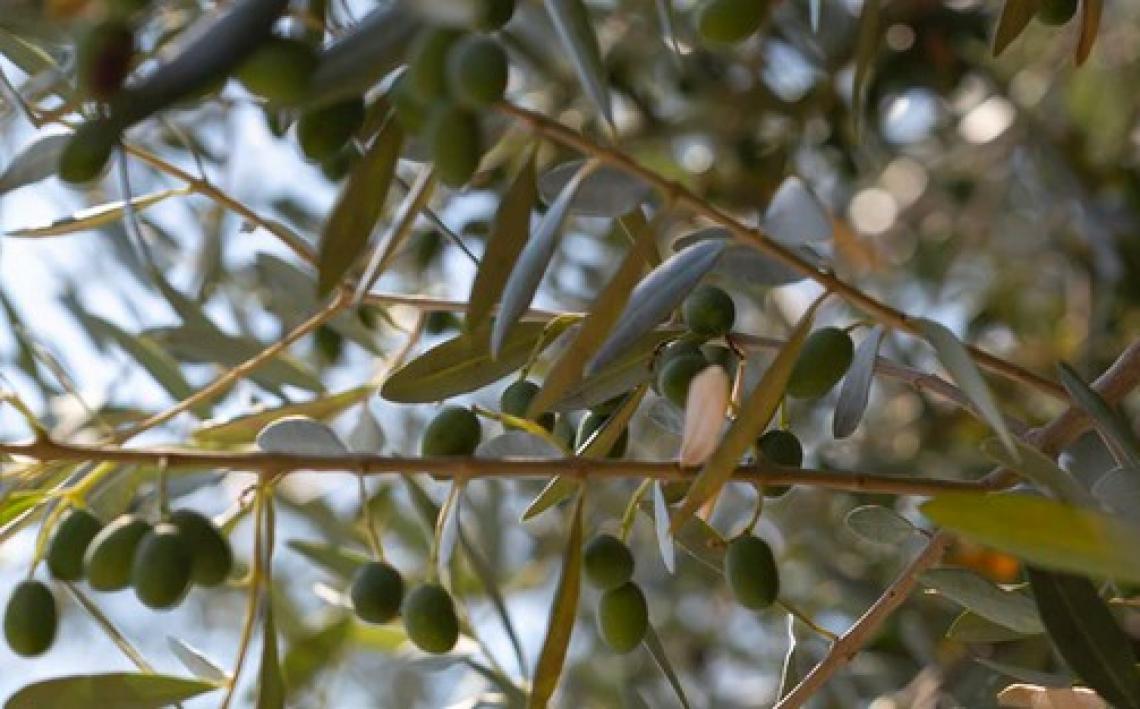 La varietà è il principale fattore che spiega il contenuto fenolico dell'olio extra vergine d'oliva, ma la sua influenza era variabile