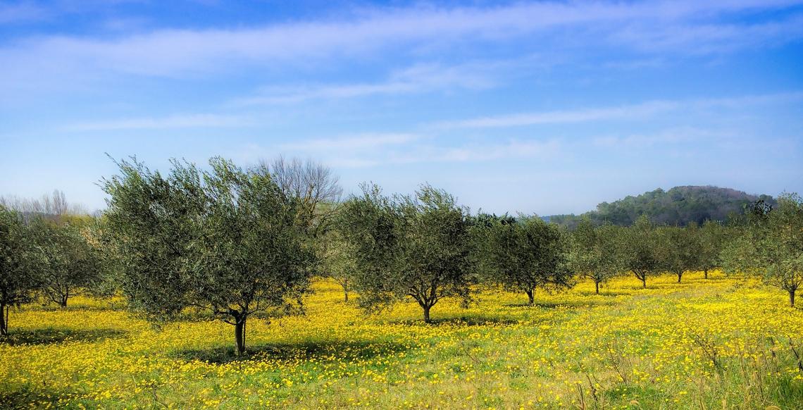 Inerbimento spontaneo e artificiale aumentano la sostanza organica del suolo ma quale nutre meglio l'olivo?