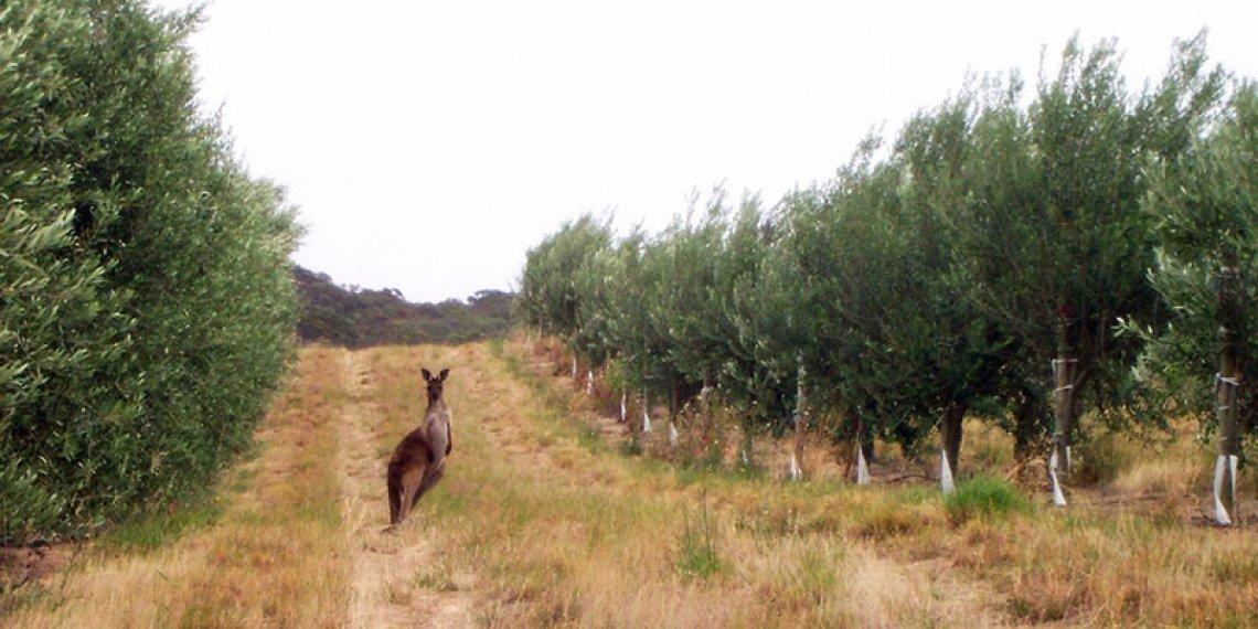 La produttività dell'oliveto australiano è troppo bassa: in media 33 quintali ad ettaro. Così imperversano le frodi