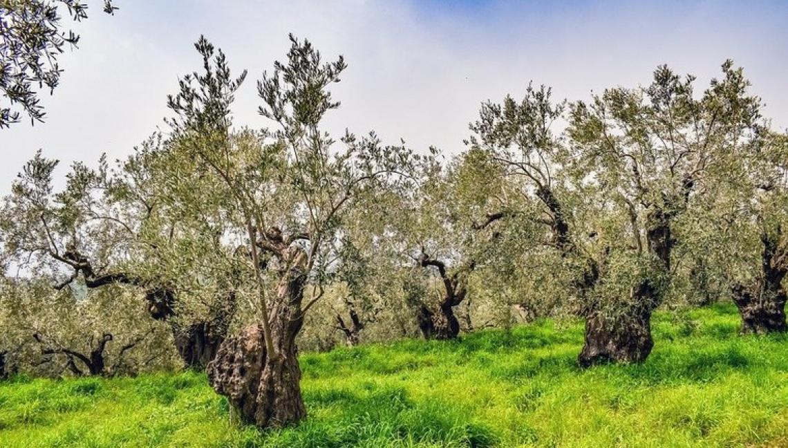 L'effetto dell'uso di erbicidi nella coltivazione dell'olivo
