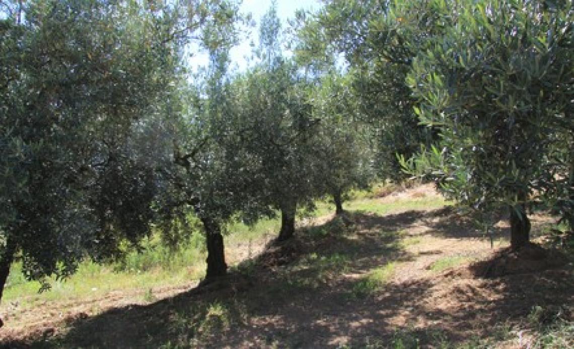 L'influenza di temperatura, piogge e altitudine sulla qualità dell'olio extra vergine d'oliva