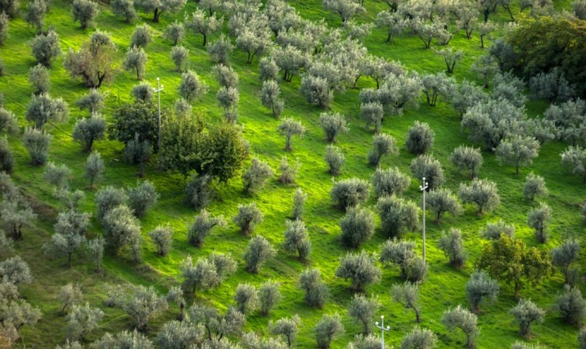 Piantati dieci olivi simbolici in dieci Comuni umbri: l'Ulivo della rinascita
