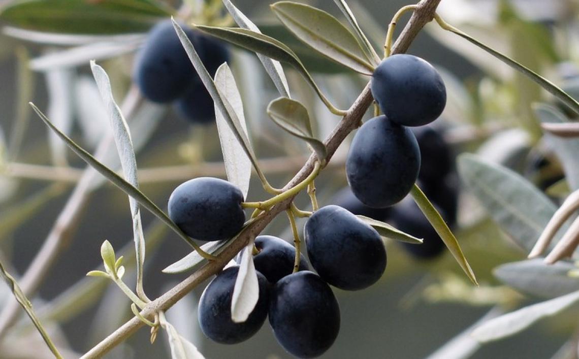 L'importanza del calcio per la produttività dell'olivo