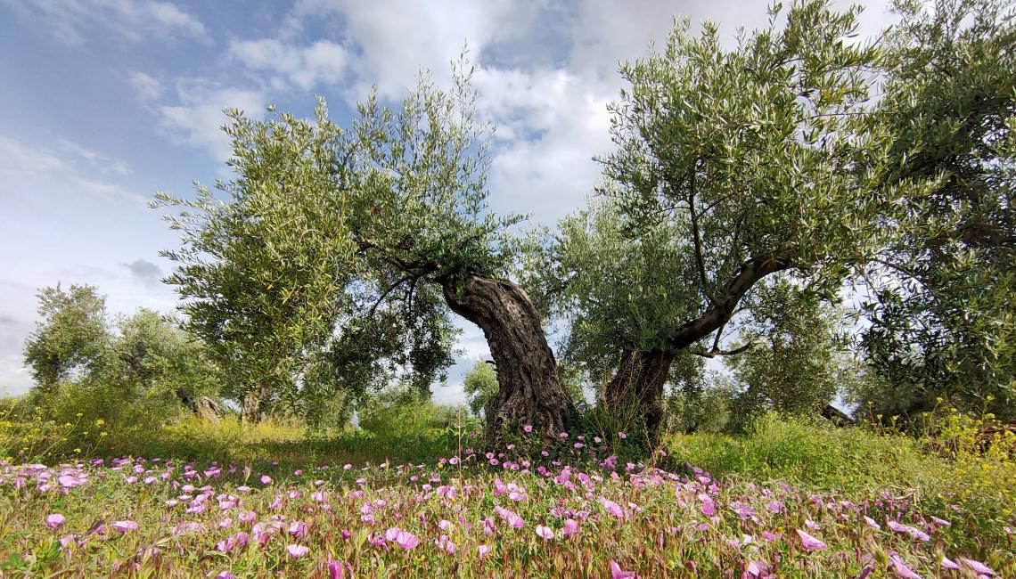 Olivares Vivos: conciliare olivicoltura, biodiversità e reddito