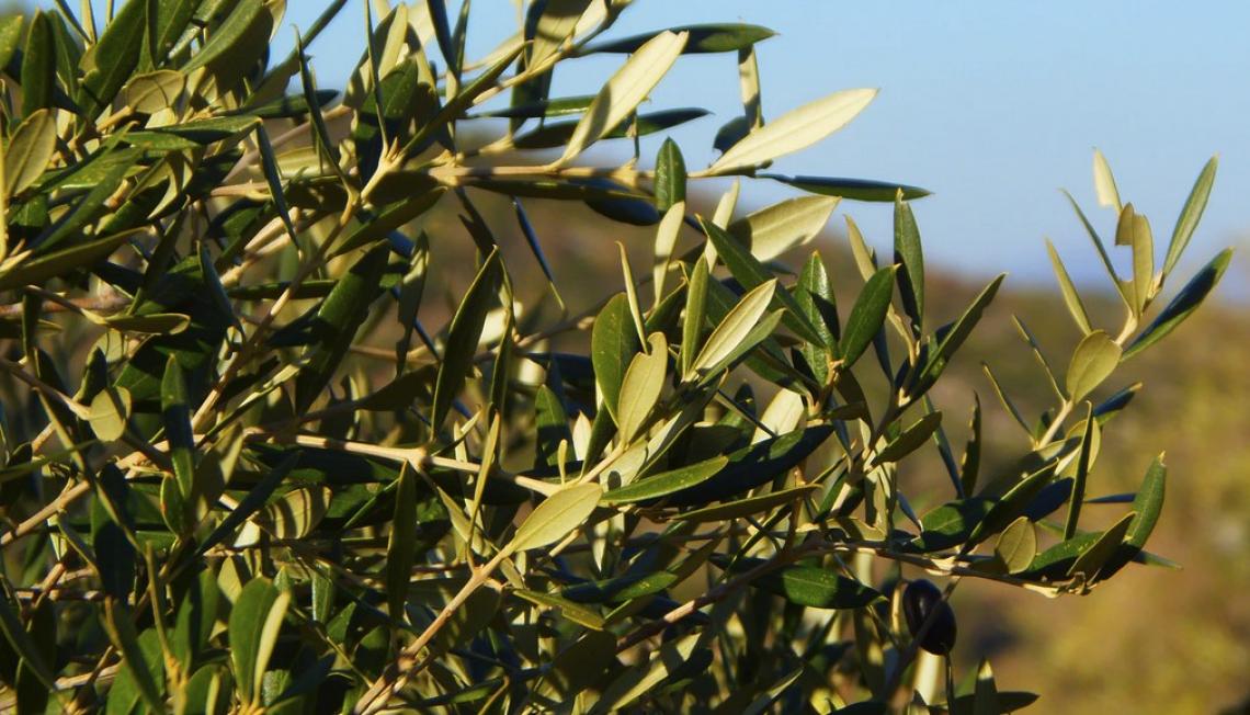 L'olivo reagisce bene a un moderato deficit idrico in primavera