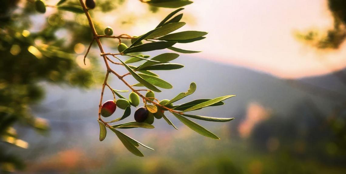 Le aziende olivicole biologiche sono tecnicamente più efficienti di quelle convenzionali