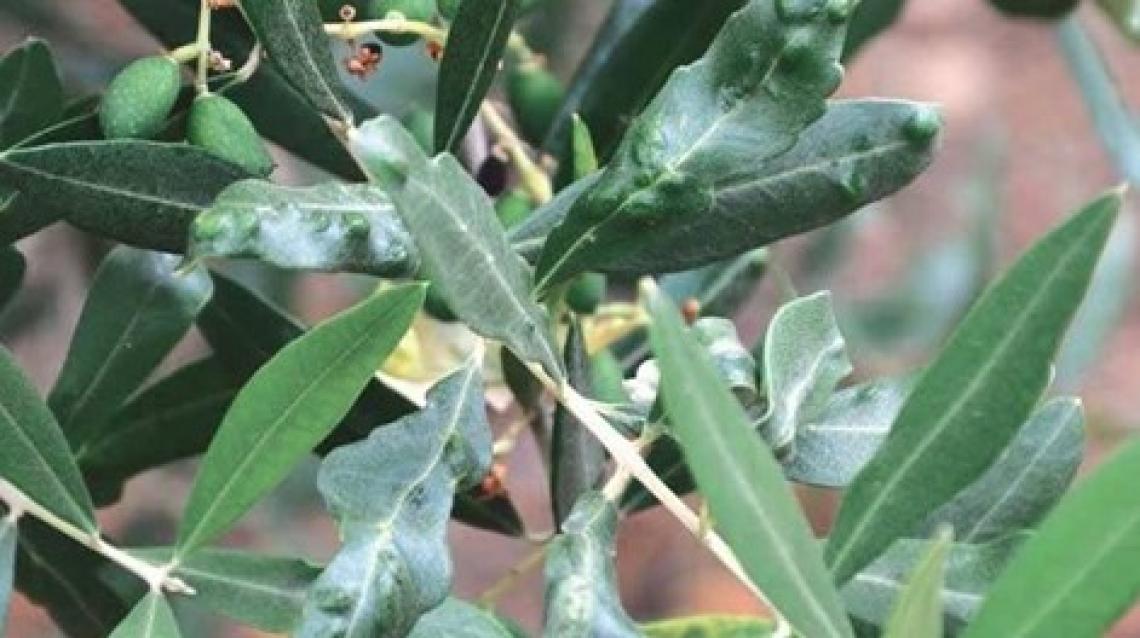 Gravi focolai di cecidomia dell'olivo nel bacino del Mediterraneo