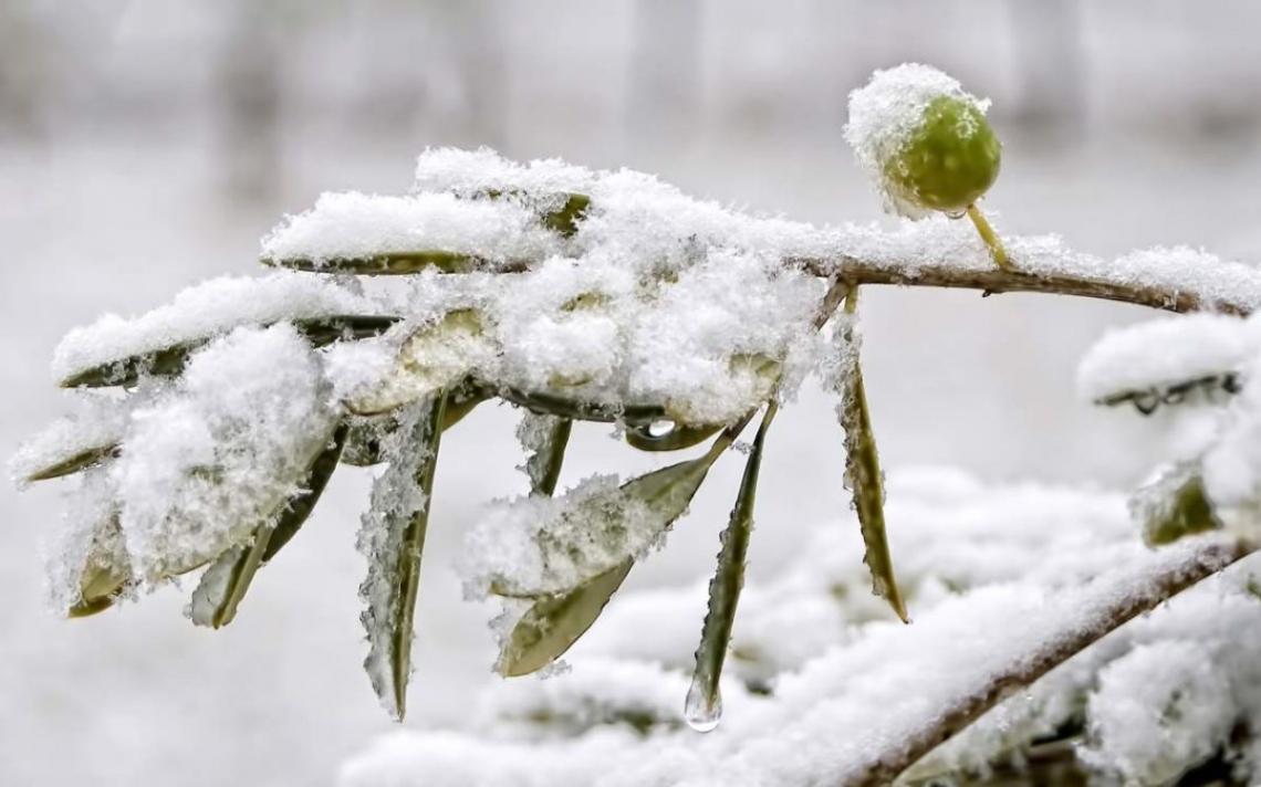 L'applicazione fogliare di metil jasmonato e 24-epibrassinolide migliora la tolleranza al congelamento dell'olivo