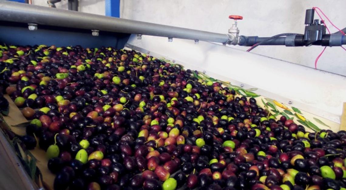 I cambiamenti nei composti bioattivi dell'olio extra vergine d'oliva dopo la denocciolatura in frantoio sono cultivar dipendenti