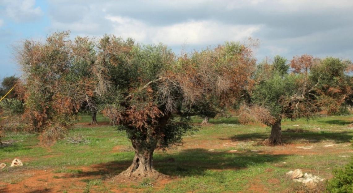 La Puglia ha approvato il Piano anti Xylella per il 2021