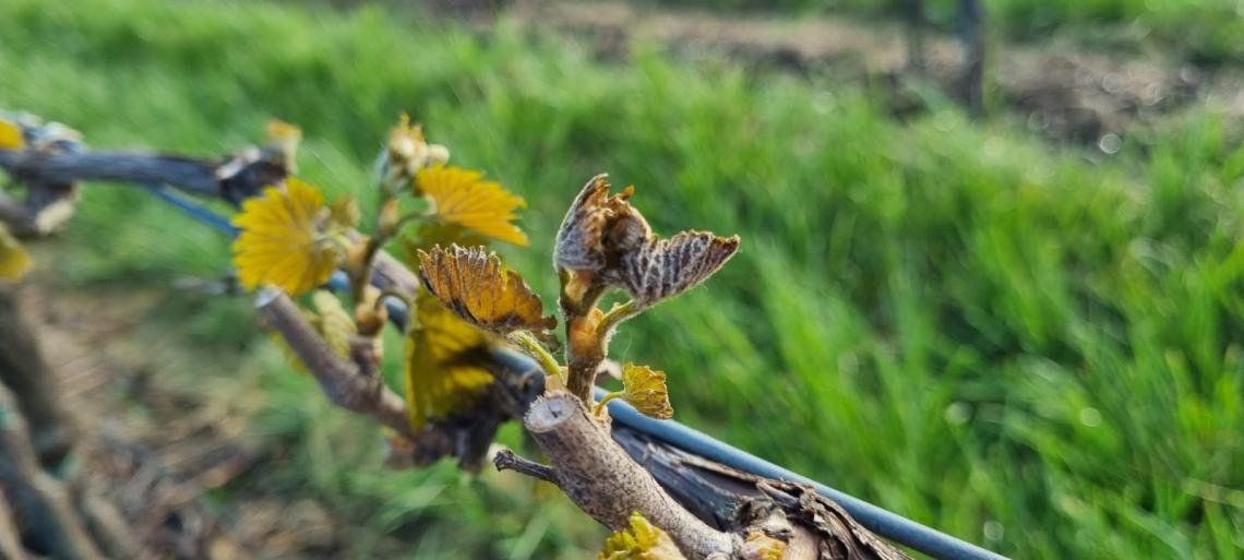 In Emilia-Romagna e Veneto le gelate danneggiano vigneti e alberi da frutto