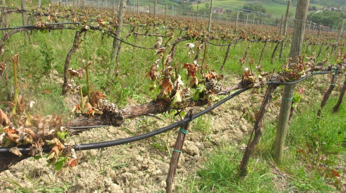 Le gelate tardive di Pasqua hanno colpito tutta la viticoltura nazionale
