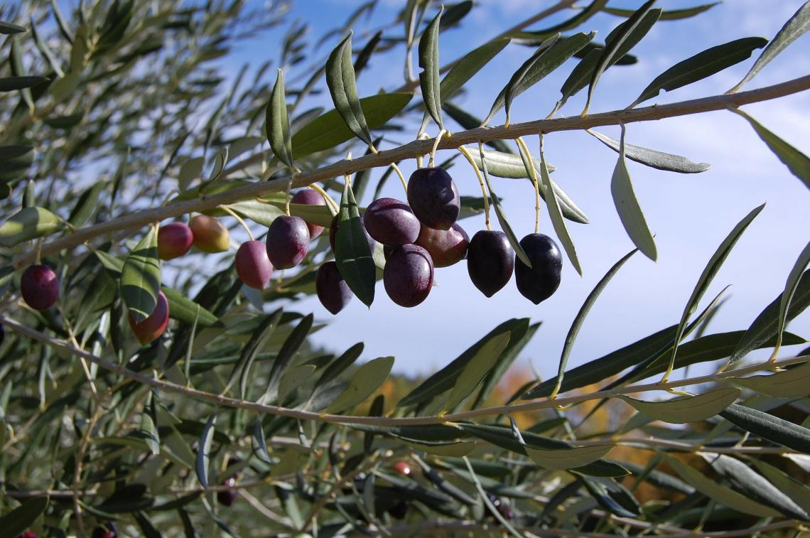 L'efficienza dei biostimolanti nel promuovere la crescita dei giovani olivi