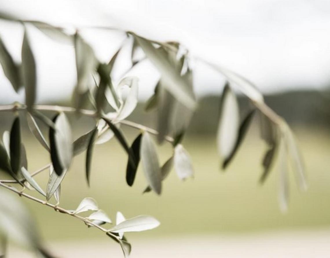 Il rebus nella certificazione della sostenibilità dell'olio extra vergine di oliva italiano