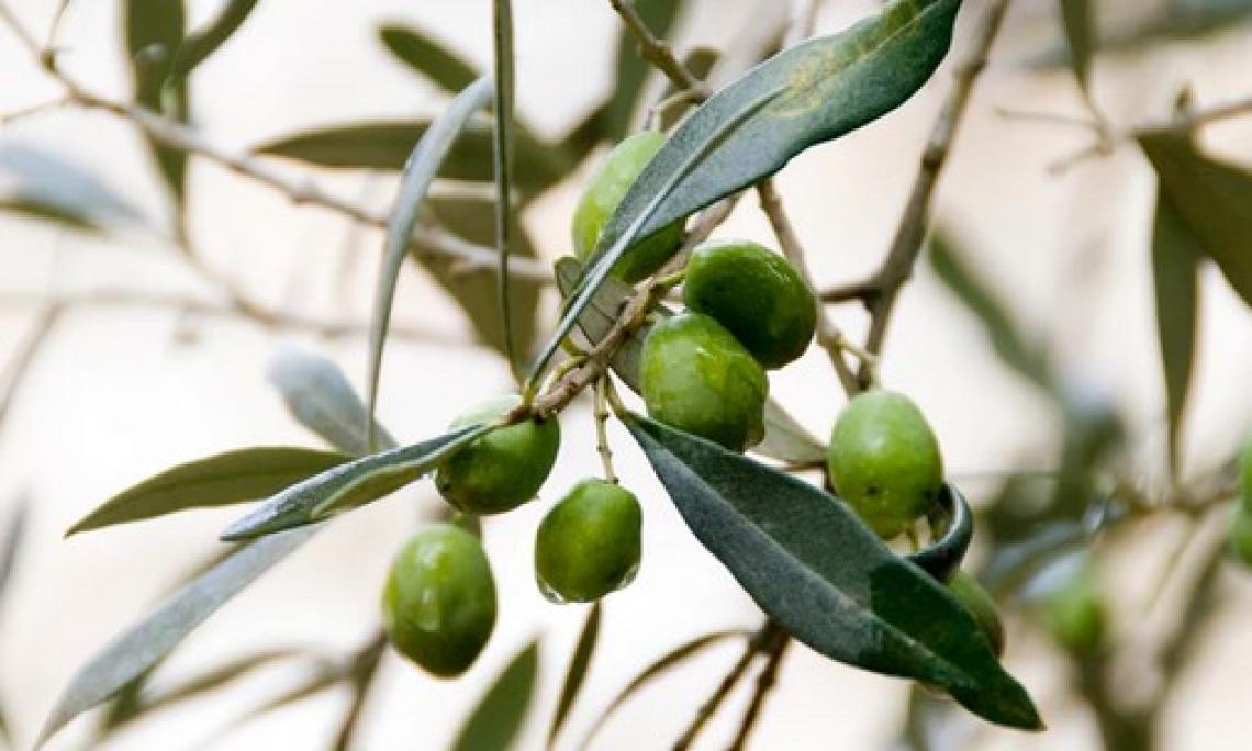 Tutti i segreti della cascola dei frutti di olivo