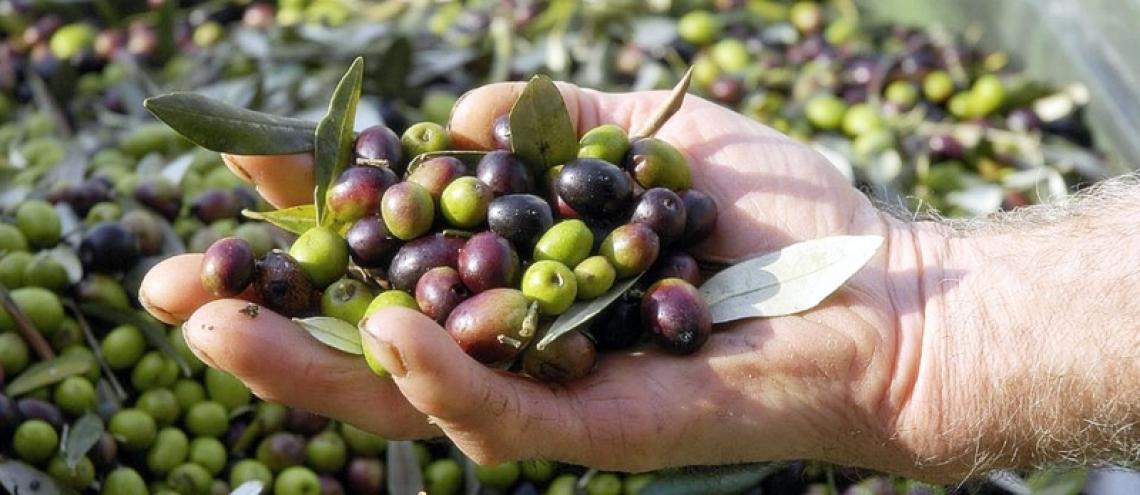 Un estratto di polpa di oliva ricca di idrossitirosolo per produrre una crema virucida anti Covid-19