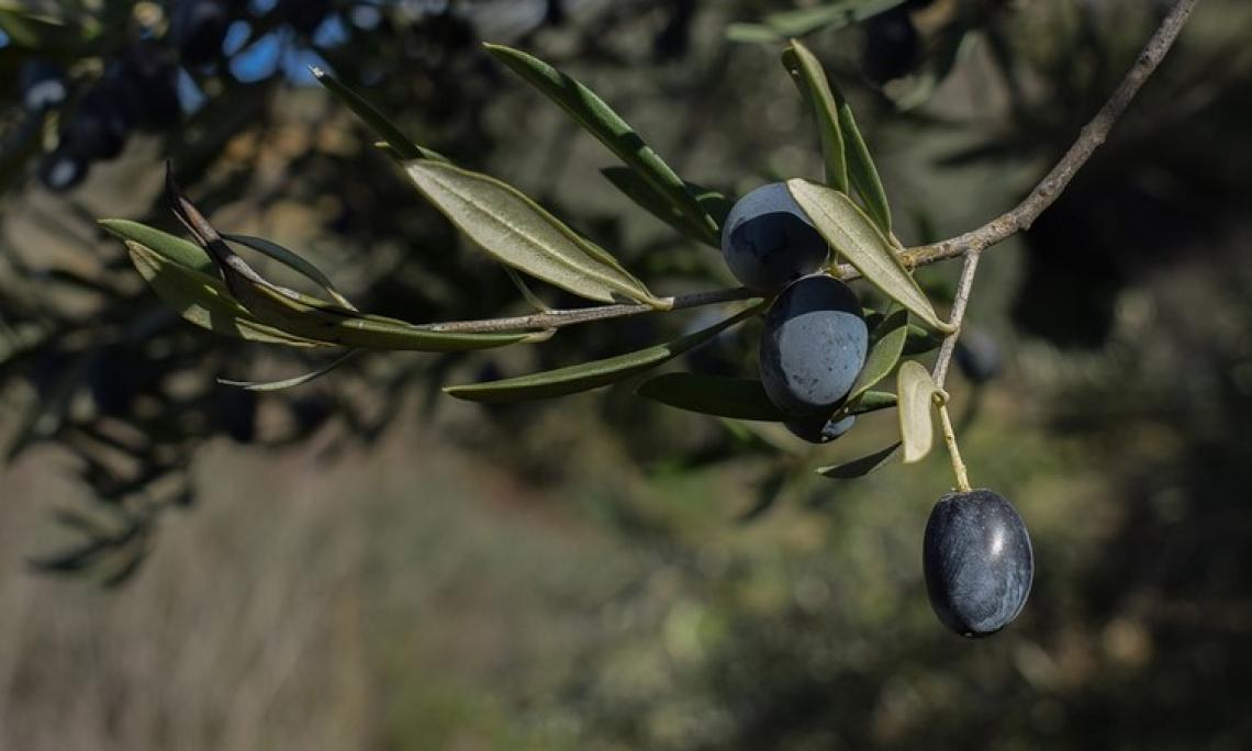 Ecco cosa chiede l'olivicoltura italiana in cerca di riscatto
