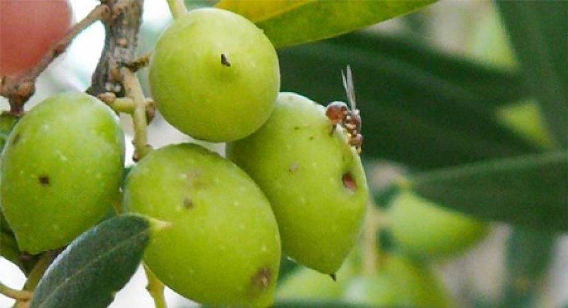 L'Inula viscosa è una preziosa alleata nella lotta contro la mosca delle olive