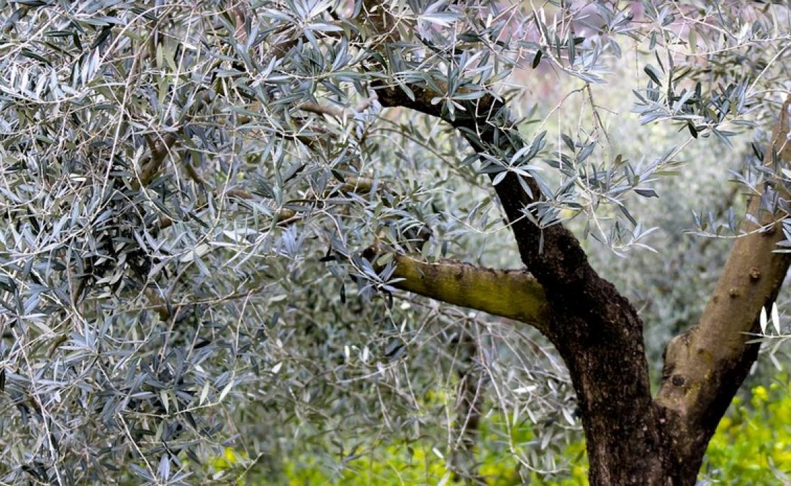 Completato il sequenziamento del genoma dell'olivo