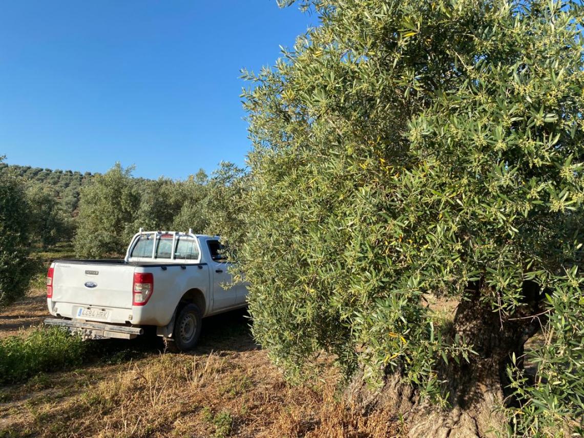 La crescita del prezzo dell'olio d'oliva in Spagna: 1 centesimo al giorno per 120 giorni consecutivi