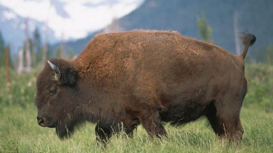 Anche in Italia ci sono i bisonti, allevamenti emblema dell'economia circolare