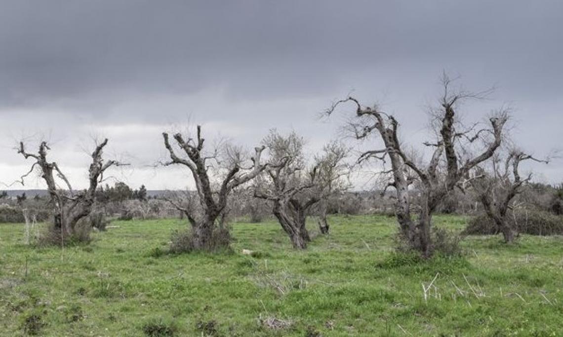 Arrivano i fondi del Piano straordinario per la rigenerazione del territorio colpito da Xylella