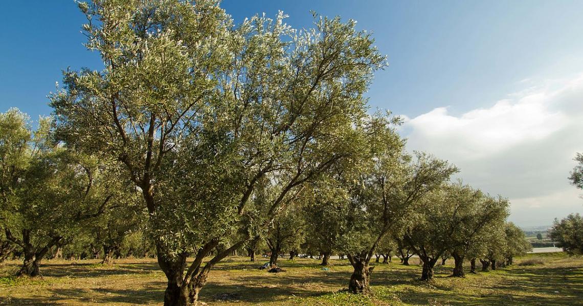 Fare l'olivicoltore oggi è un po' da pazzi, eppure c'è chi lo fa