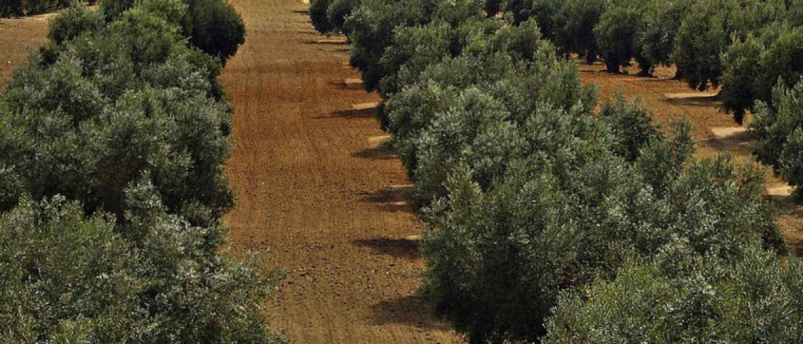 L'effetto di funghi micorrizici e zeolite sulla crescita dell'olivo