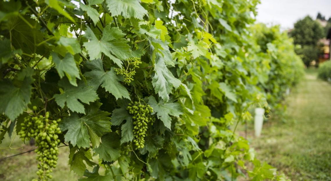 L'effetto delle concimazioni sulle viti in suoli calcarei