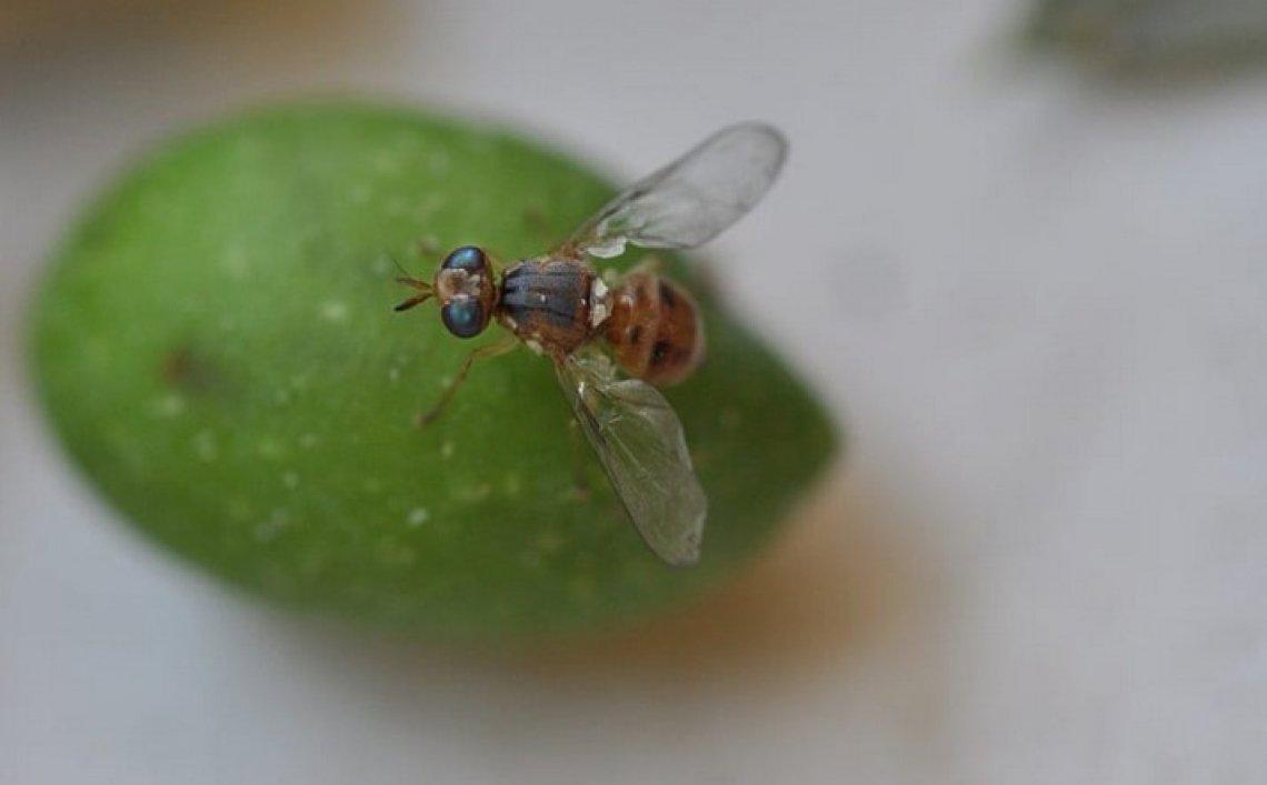 Oli essenziali nel futuro della difesa fitoiatrica contro la mosca delle olive
