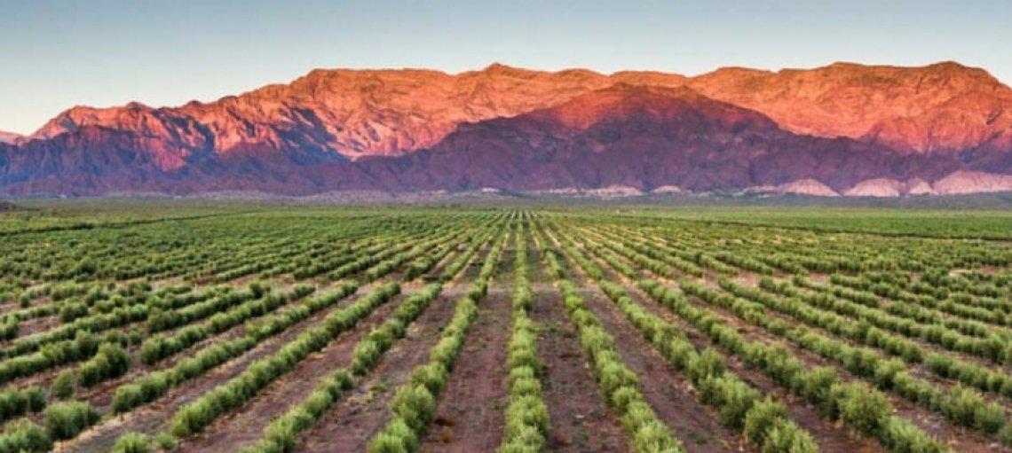 L'Argentina festeggia l'olivo di Aimogasta e l'olivicoltura