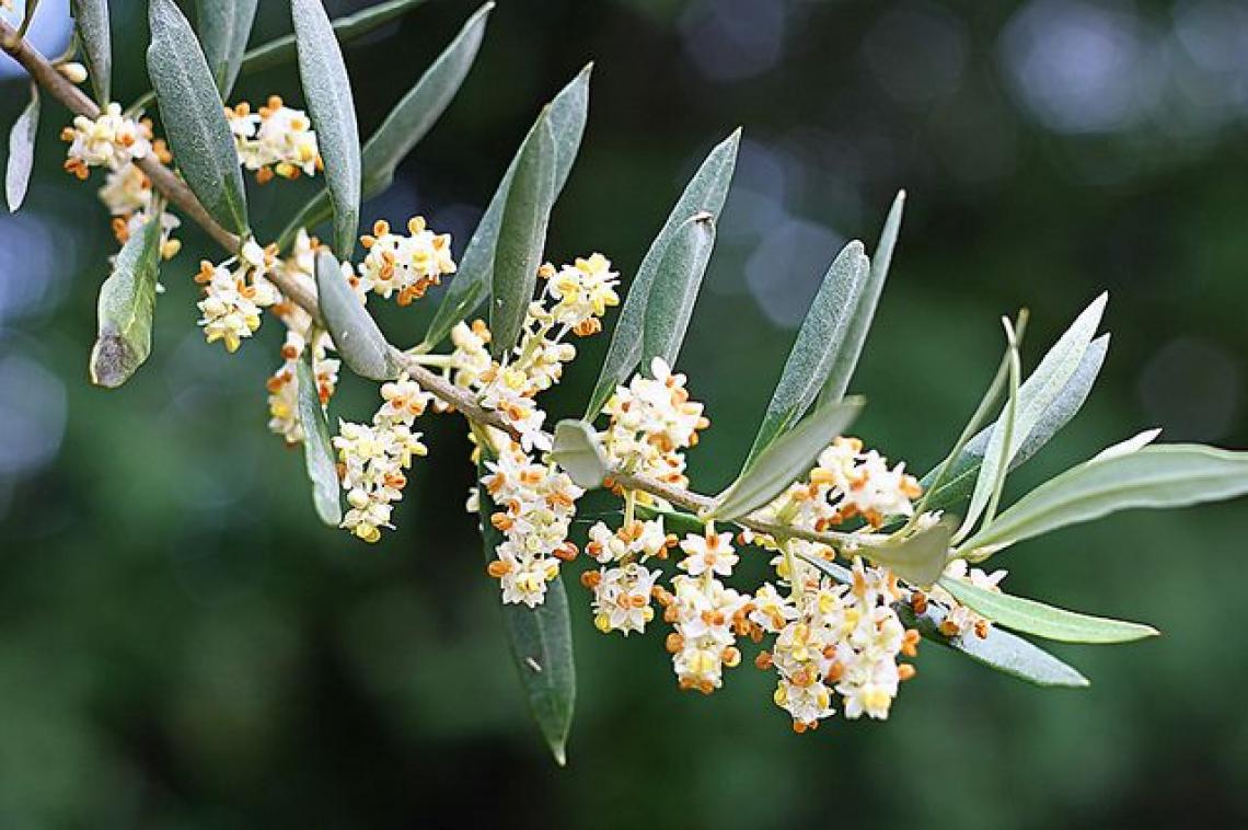 Raddoppiare la percentuale di allegagione dell'olivo con due soli trattamenti in aree aride