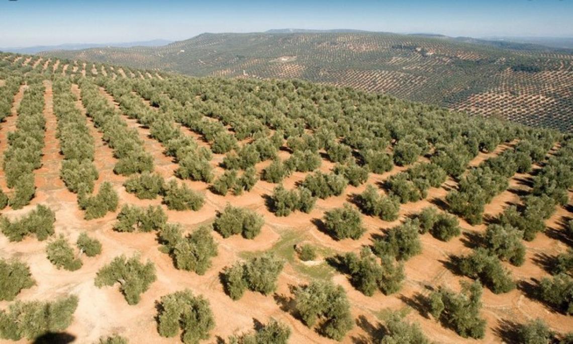 La fotografia dell'olivicoltura iberica: più tradizionale che superintensivo
