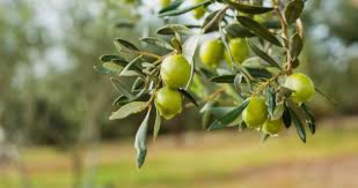 Nuovi tecnici olivicoli dagli Istituti agrari italiani