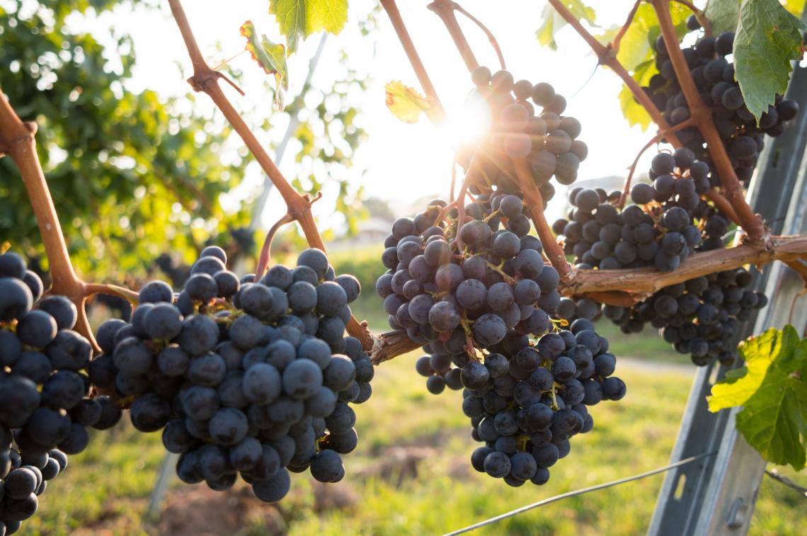 L'adattamento della maturazione dell'uva da vino ai cambiamenti climatici