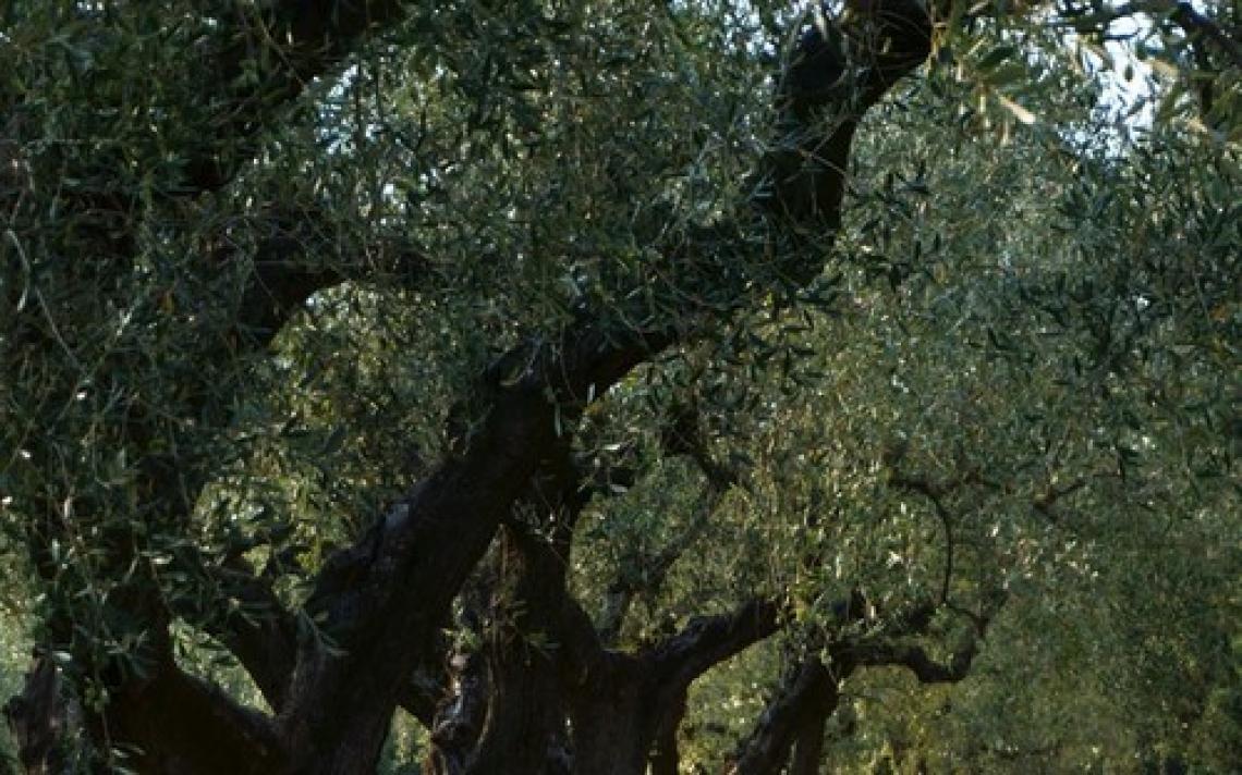 Grazie a Piero Gonnelli per l'impegno per l'olivicoltura italiana