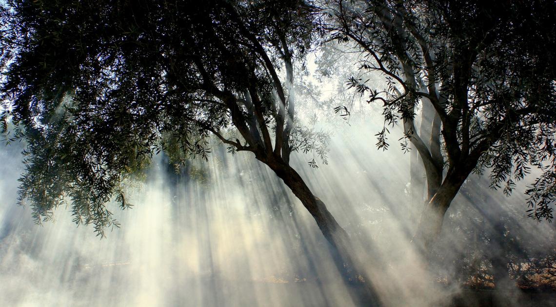 The Garden of Peace: l'olivo al centro del progetto di unione dei popoli