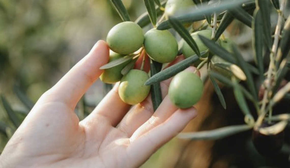 Quanto è davvero utile l'irrigazione di soccorso su produttività e qualità dell'olio di oliva?