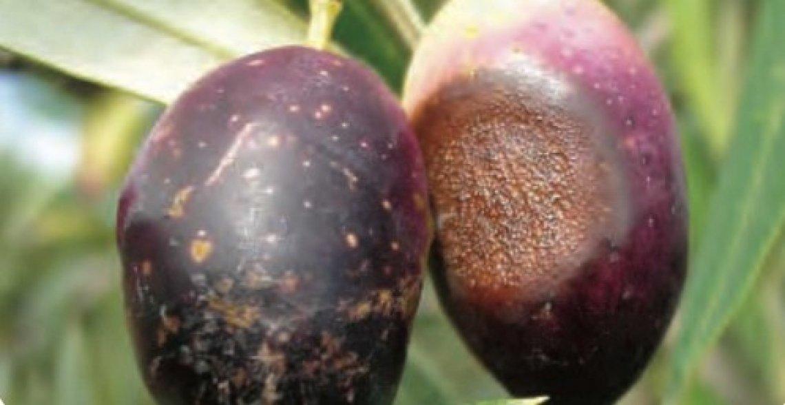 Bastano pochi giorni di infezione di lebbra per veder rovinato l'olio extra vergine d'oliva